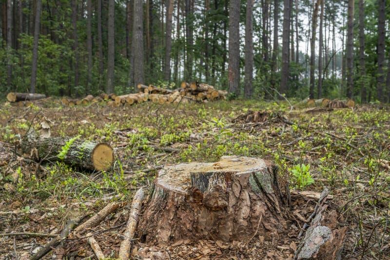 Concetto di disboscamento Ceppi, ceppi dell'albero dopo la foresta di taglio fotografia stock libera da diritti