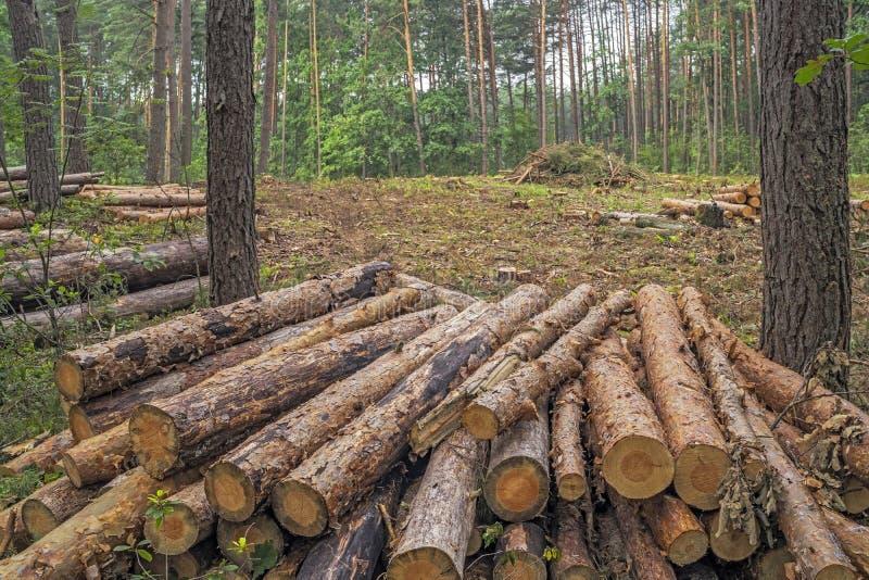 Concetto di disboscamento Ceppi, ceppi e rami dell'albero dopo la c immagini stock