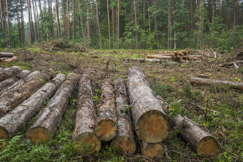Concetto di disboscamento Ceppi, ceppi e rami dell'albero dopo la foresta di taglio fotografia stock libera da diritti