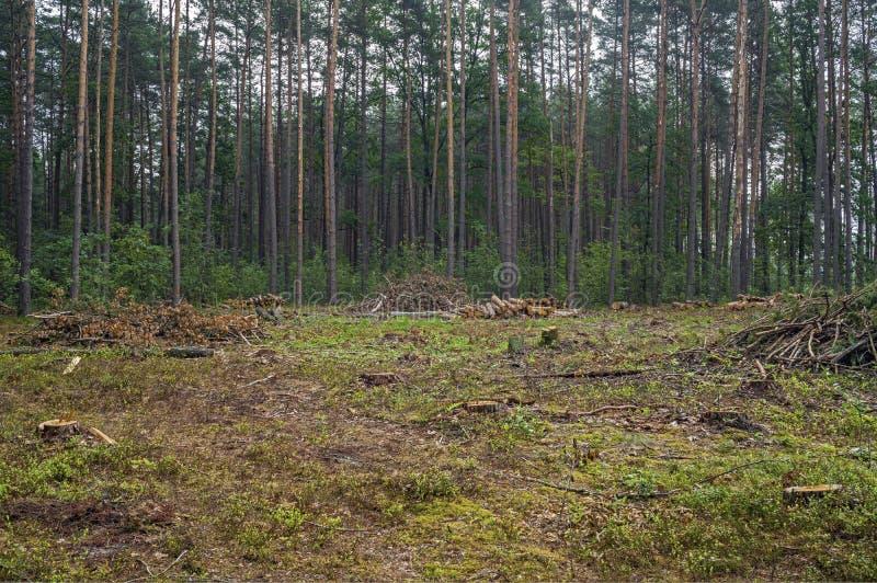 Concetto di disboscamento Ceppi, ceppi e rami dell'albero dopo la foresta di taglio immagine stock