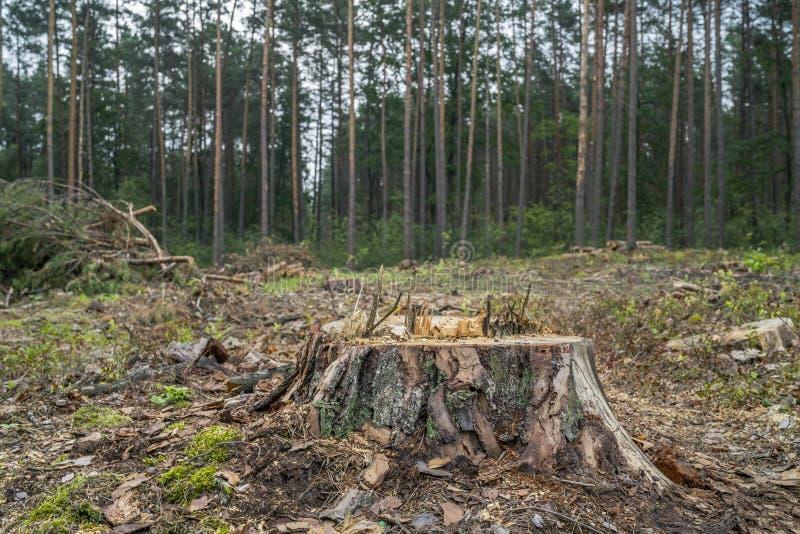 Concetto di disboscamento Ceppi, ceppi e rami dell'albero dopo la foresta di taglio immagine stock libera da diritti