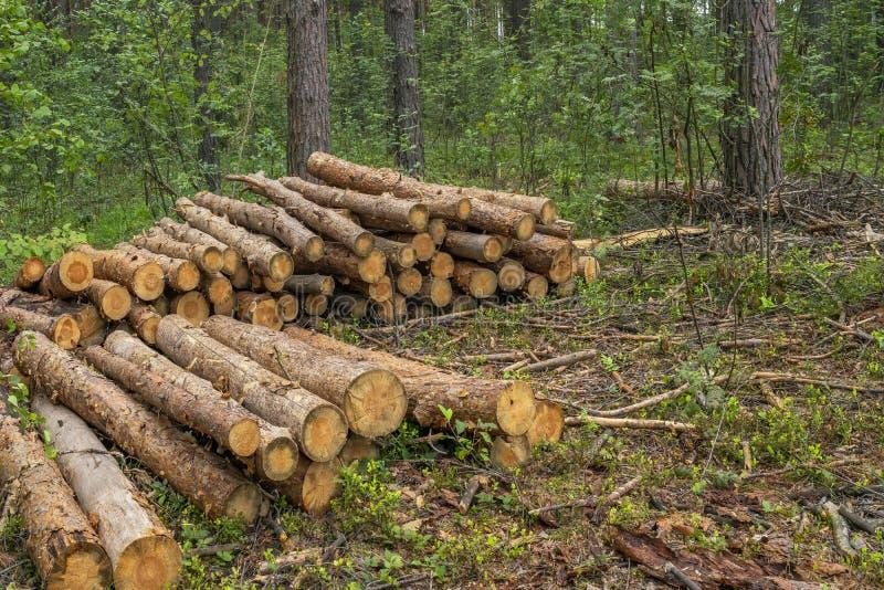 Concetto di disboscamento Ceppi, ceppi e rami dell'albero dopo la foresta di taglio fotografia stock