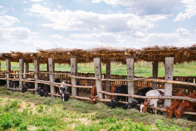 Concetto di industria, di azienda agricola e di zootecnia di agricoltura Gregge delle mucche in stalla sull'azienda lattiera fotografia stock