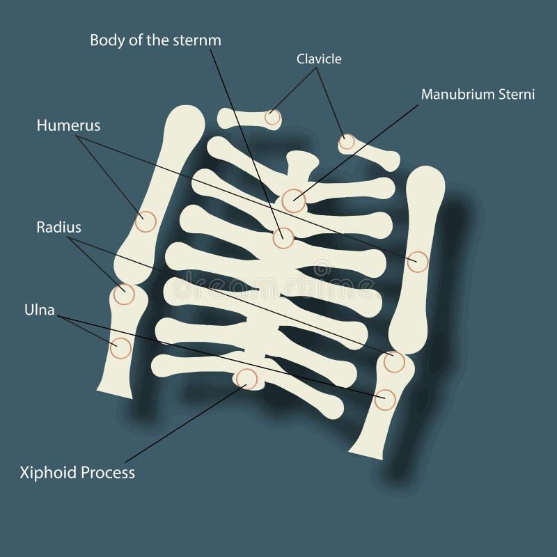 Concetto di salute e medico con lo scheletro umano della spina dorsale illustrazione di stock