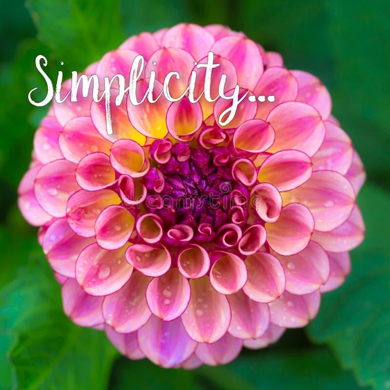Concetto di semplicità con la dalia fotografie stock libere da diritti
