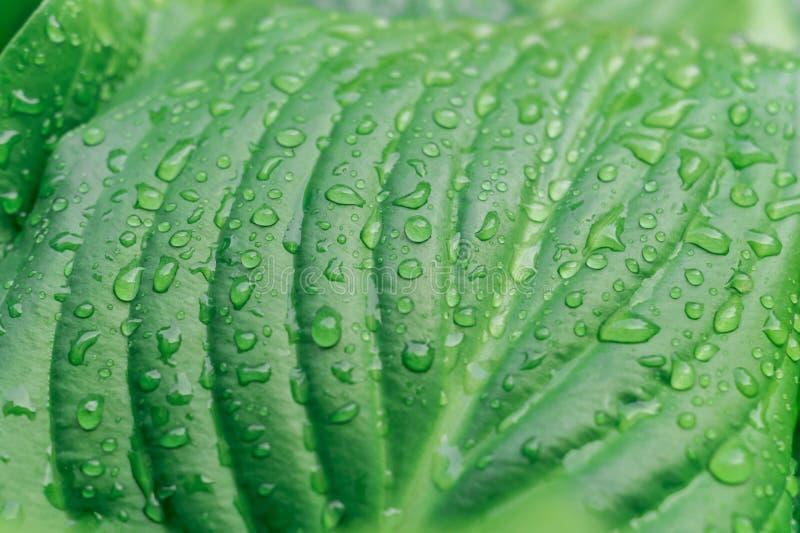 Concetto tropicale, fondo verde Ospite dopo la pioggia, gocce della pianta di acqua in grande permesso Fuoco selettivo, macro fotografia stock libera da diritti
