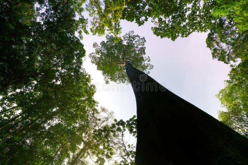 Concetto verde del pianeta, albero gigantesco che raggiunge al cielo fotografie stock