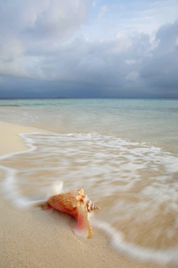 conch κοχύλι βασίλισσας στοκ εικόνα