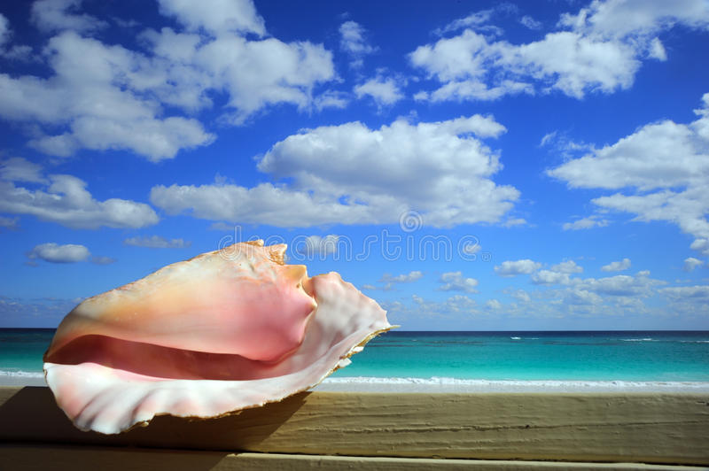Conch royalty free stock photo
