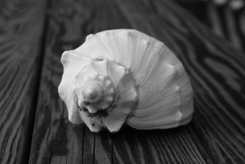 conch royaltyfri bild
