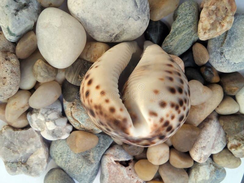 conch στοκ εικόνα με δικαίωμα ελεύθερης χρήσης