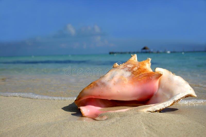Conch da praia fotos de stock
