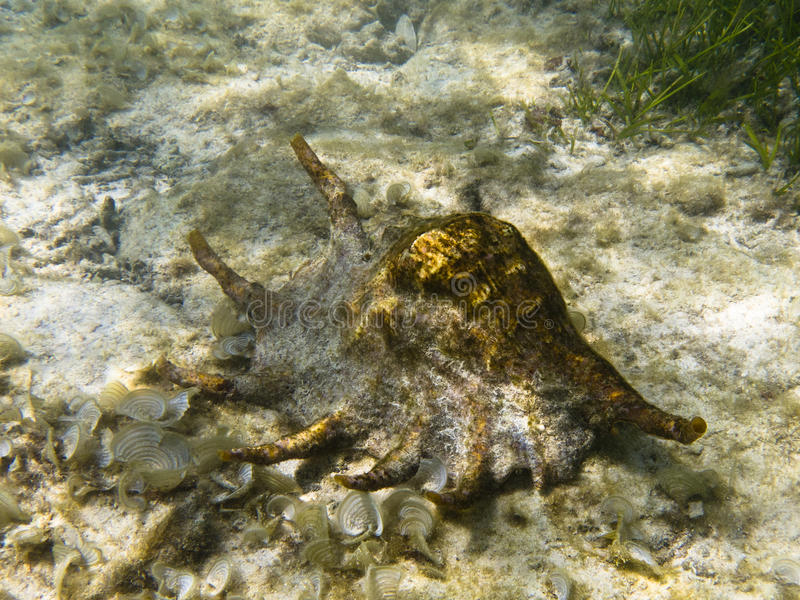 Conch gigante da aranha imagem de stock royalty free