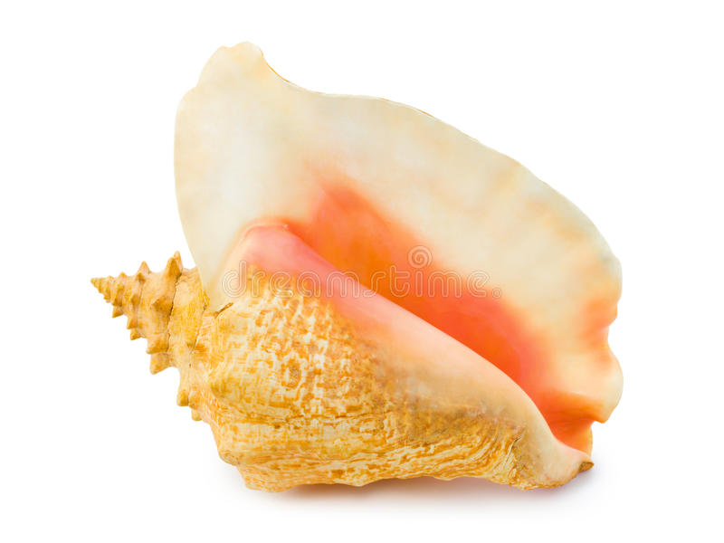 Conch grande imagem de stock royalty free