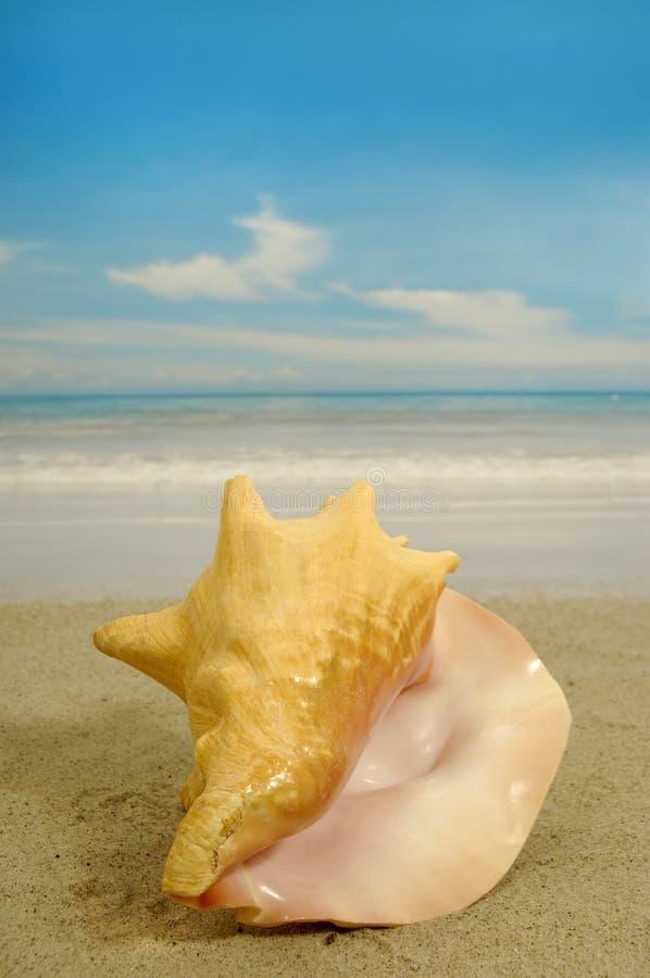 Conch na praia foto de stock royalty free