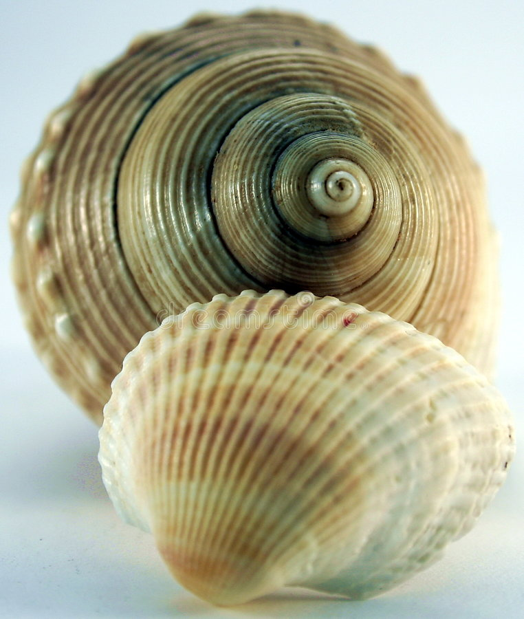 Conch of sea shell. On a table royalty free stock photo