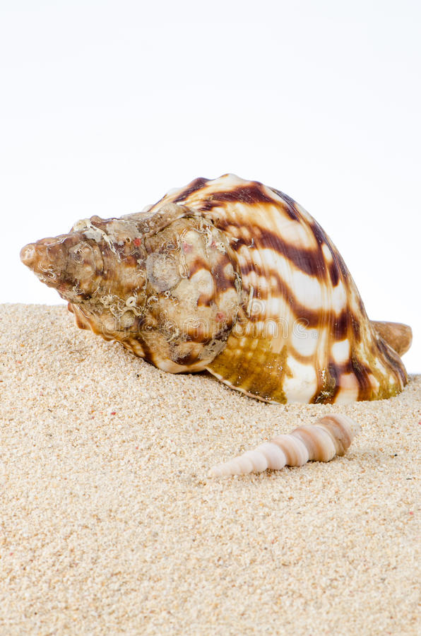 Download Conch sea shell stock image. Image of summer, border - 25412531