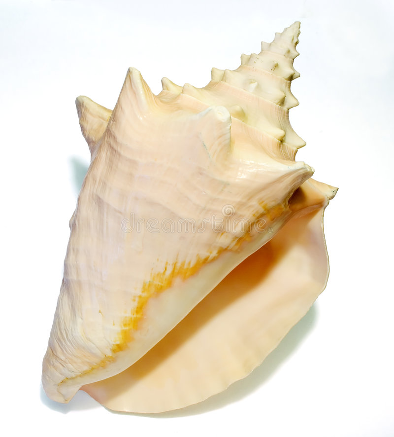 Conch Seashell 1 stock photos