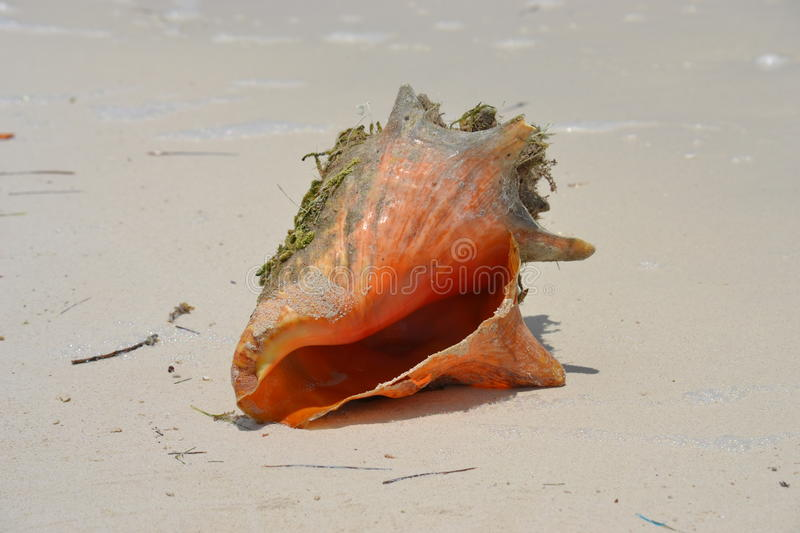Download Conch Shell Royalty Free Stock Image - Image: 24218166