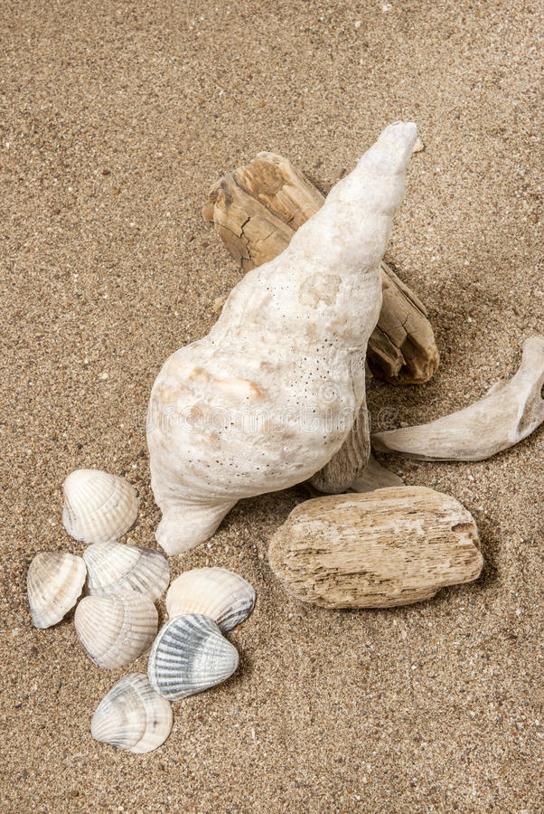 Download Conch shell stock image. Image of beach, conch, scallop - 24709835