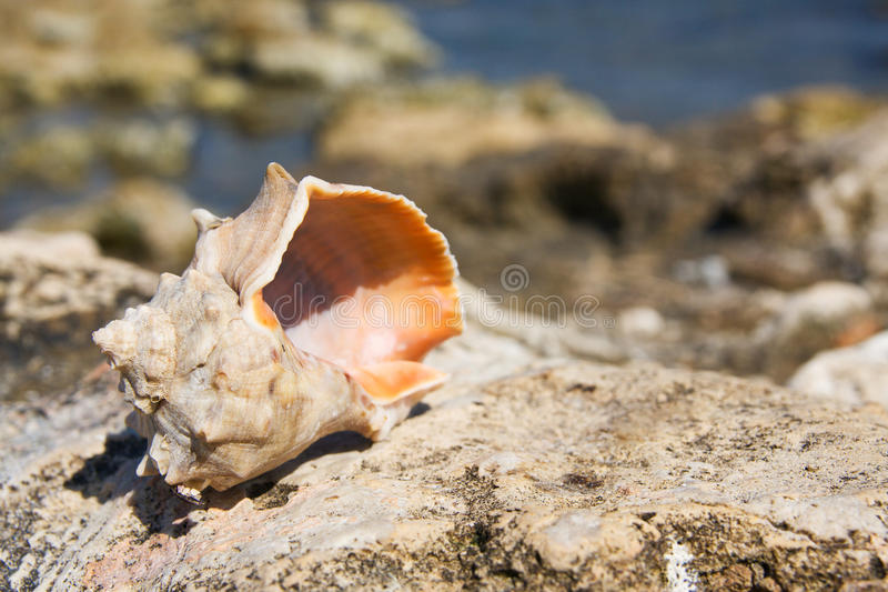 Conch Shell on beach royalty free stock photos