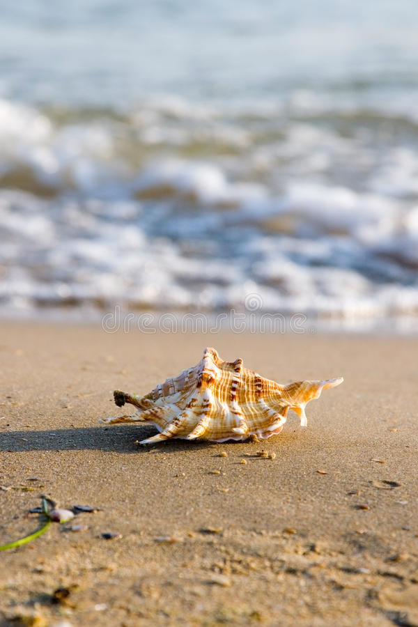 Conch shell on beach with waves stock photography