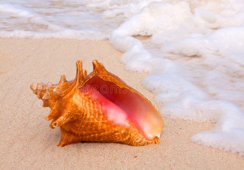 Conch Shell na praia. fotos de stock