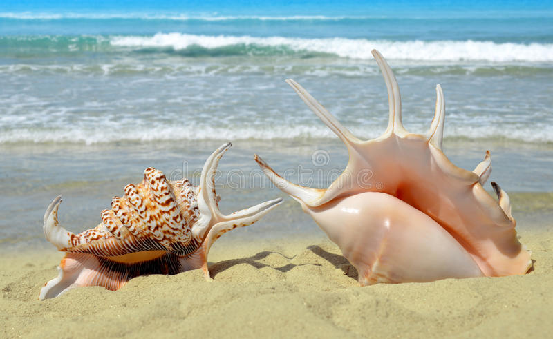Conch shells stock photo