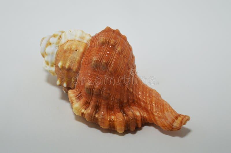 Concha do mar bonita no fundo branco Fundo com um escudo colorido imagens de stock royalty free