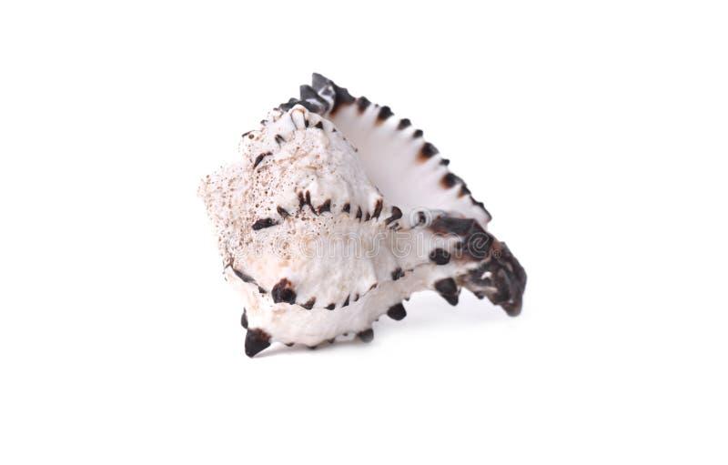 Concha do mar branca e preta bonita isolada imagens de stock
