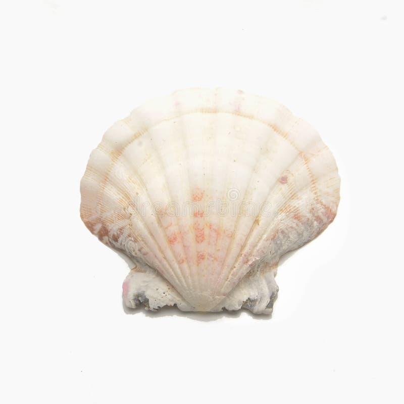 Concha do mar da vieira imagem de stock royalty free