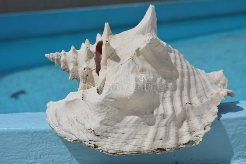 Concha do mar grande, branca imagem de stock