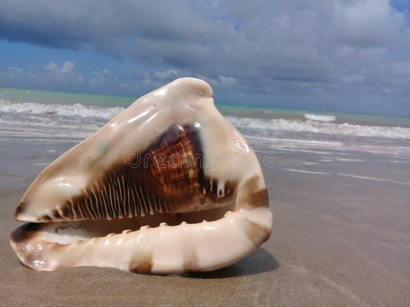 Concha do mar grande na areia pelo mar imagem de stock