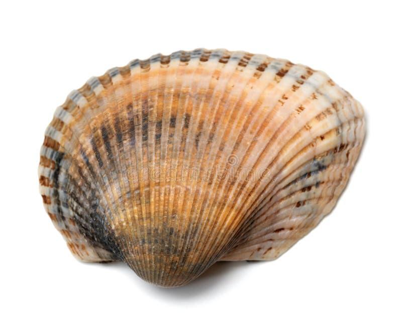 Concha do mar isolada em um branco fotografia de stock royalty free