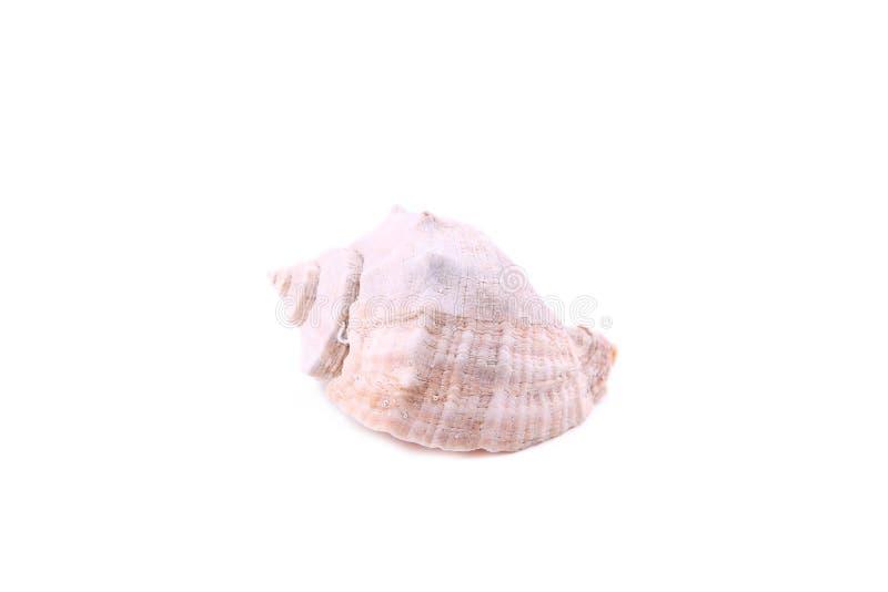 Concha do mar isolada no fundo branco, cortado fotografia de stock