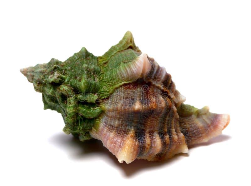 Concha do mar molhada no branco imagem de stock