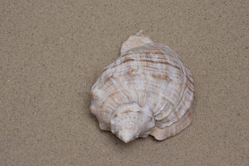 Concha do mar na areia imagem de stock royalty free