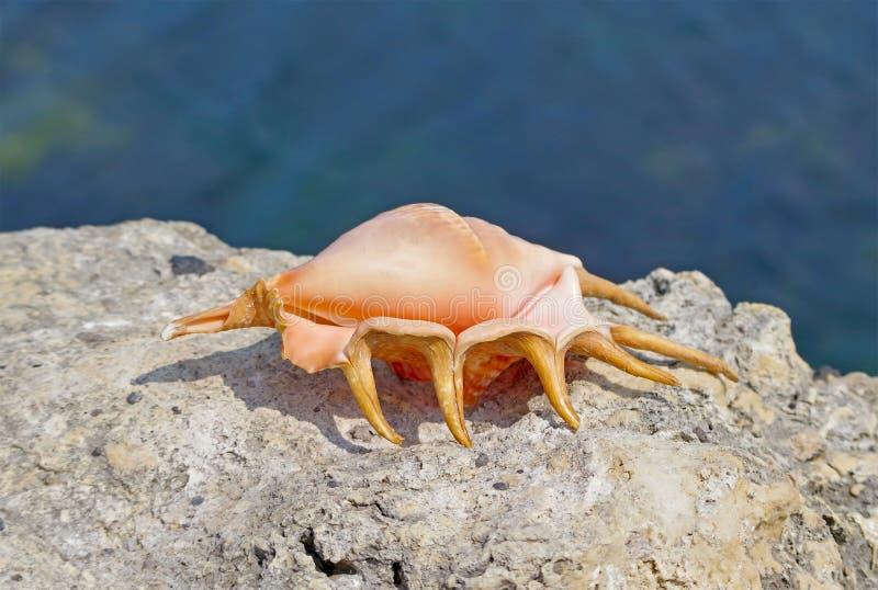 Concha do mar na pedra imagem de stock royalty free