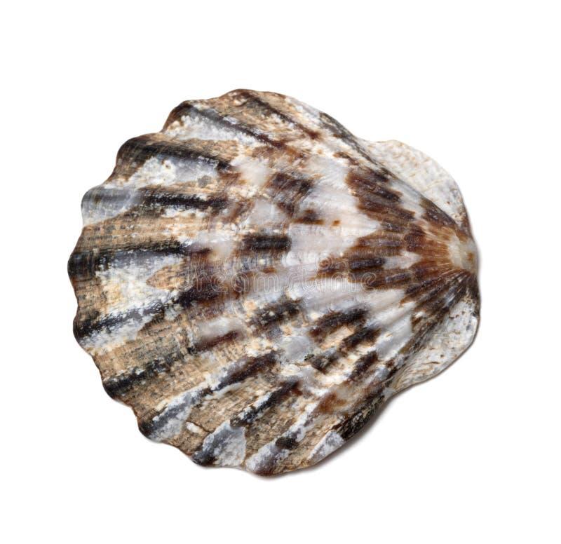 Concha do mar no branco imagens de stock