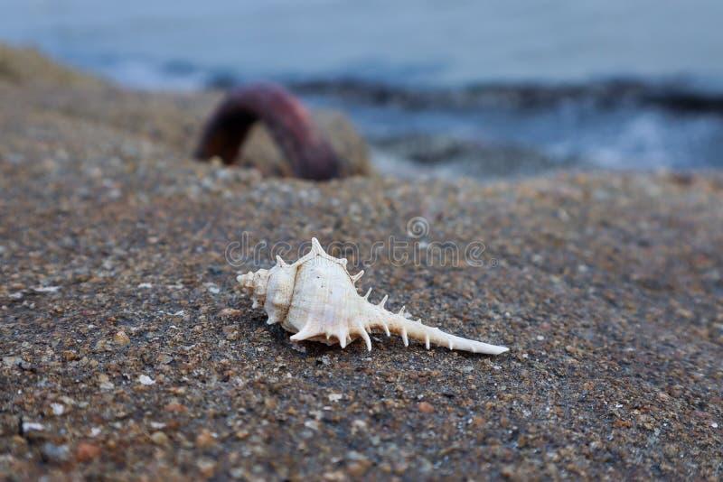 Concha do mar pointy branca no muro de cimento pela praia imagens de stock royalty free