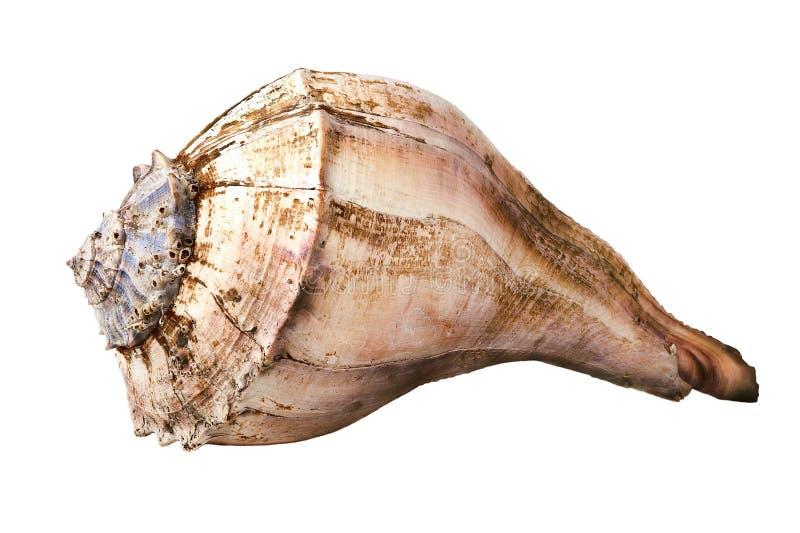 Concha grande del mar fotografía de archivo libre de regalías