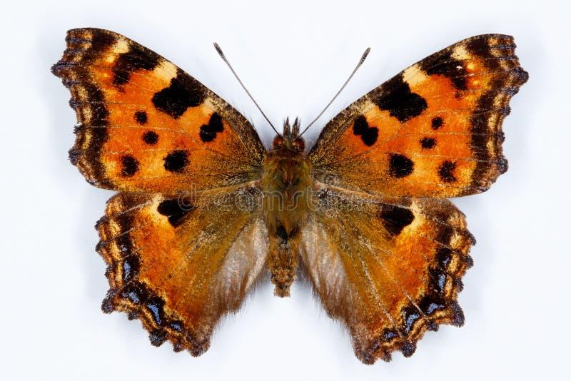 Concha grande, mariposa de los polychloros del Nymphalis imagenes de archivo
