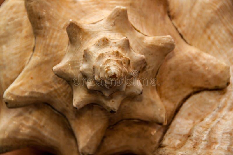 Concha marina foto de archivo libre de regalías