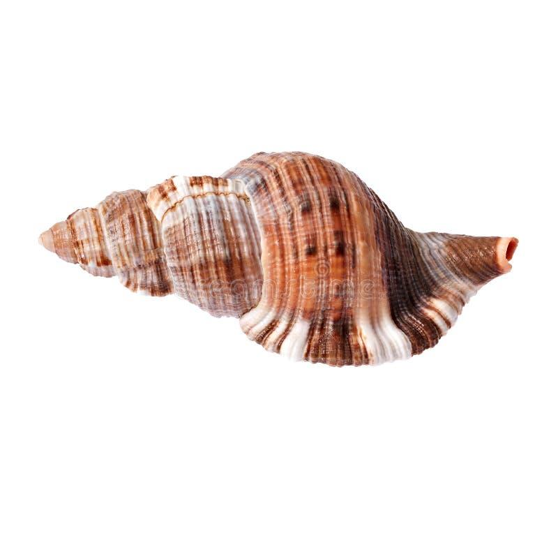 Concha marina aislada foto de archivo