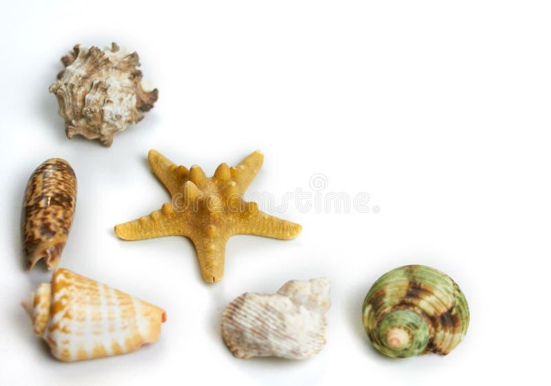 Concha marina aislada en un fondo blanco fotografía de archivo libre de regalías