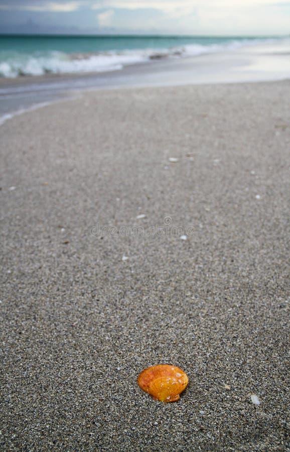 Concha marina anaranjada en una arena en la playa de Cuba imagenes de archivo