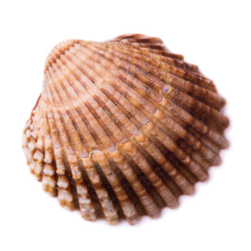 Concha marina bivalva aislada en el fondo blanco imagenes de archivo