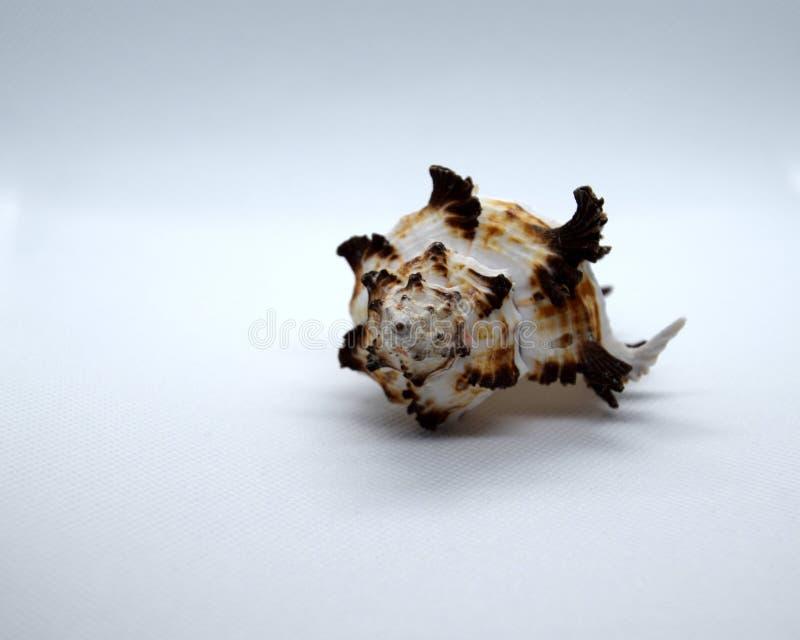 concha marina Blanco-marrón contra un fondo blanco imágenes de archivo libres de regalías