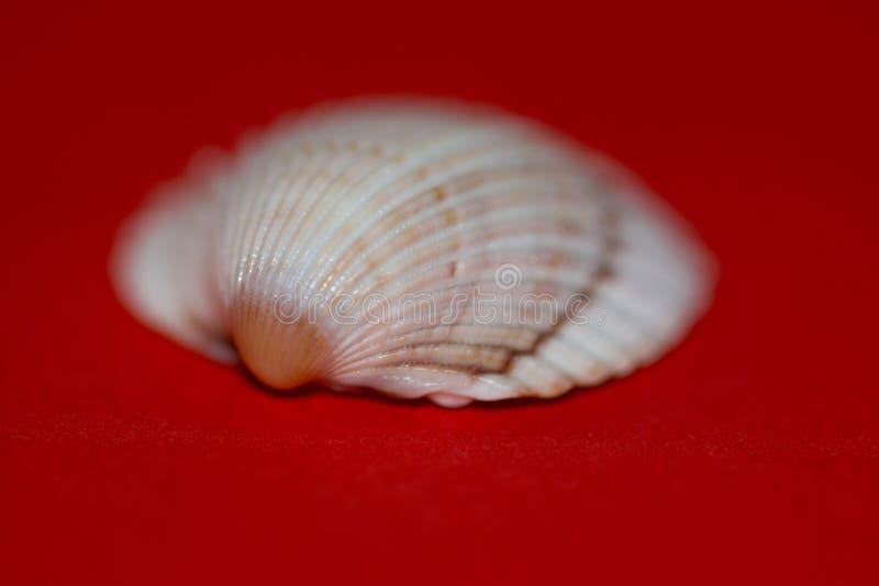 Concha marina borrosa fotografía de archivo libre de regalías