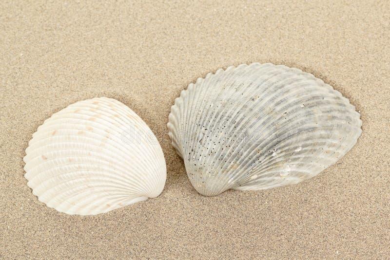 Concha marina dos en arena fotos de archivo